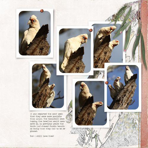 2012-07-12-Crazy-Corellas-lynng-all-white-now2-3-p2